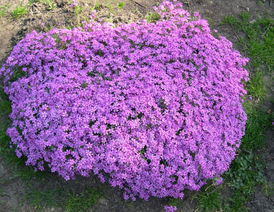 Phlox groundcover, styloid.