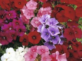 Смесь крупноцветковых флоксов белого, малинового и сиреневого цвета.