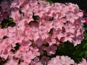 Нежно-розовые флоксы в форме звездочки.