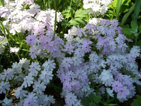 Белые флоксы Друммонда с интересной формой цветка.