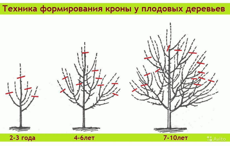 Формирующая обрезка плодового дерева.