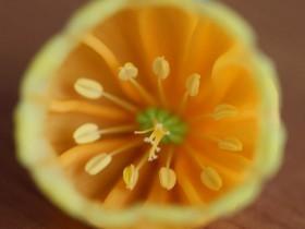 Цветок сандерсонии: вид изнутри.
