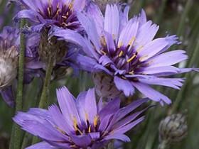 Цветы катананхе.