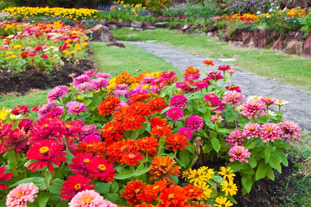 На фото: буйство красок - циннии в саду.