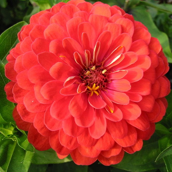 "Zinnia ""Little red riding hood""."