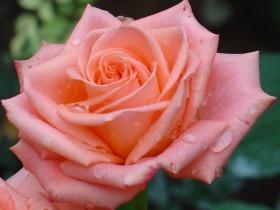 Чайно-гибридная роза.