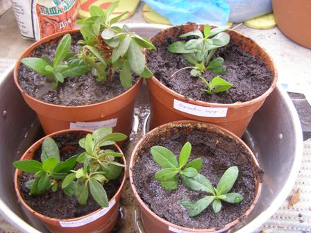 Rooted cuttings azaleas.