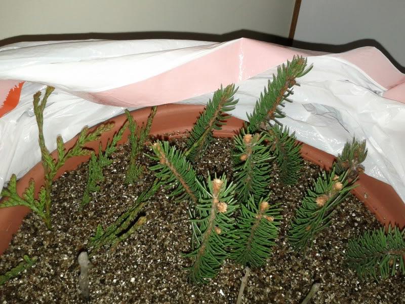 Как вырастить кедр из ветки в домашних условиях 320
