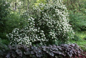 Fragrant mock orange: species and varieties