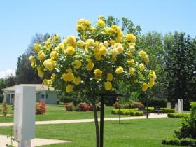 Штамбовая роза.