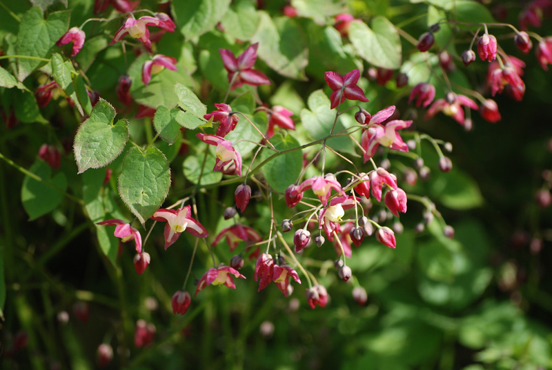In the photo: Epimedium red.