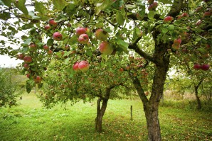 Proper pruning of fruit trees