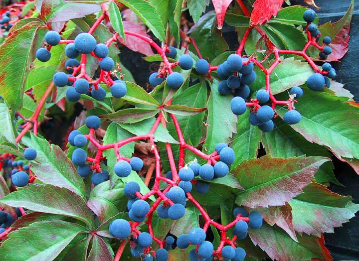 Ягоды девичьего винограда.