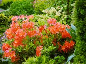 Японский красный рододендрон.