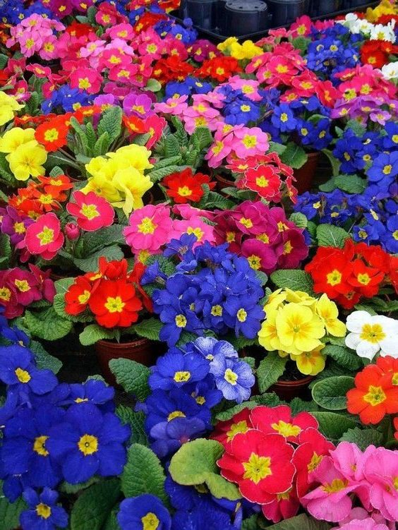 Beautiful, colorful, with dedicated specific color flowers primrose.