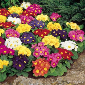 Growing primroses from seed, storage, seedling and planting