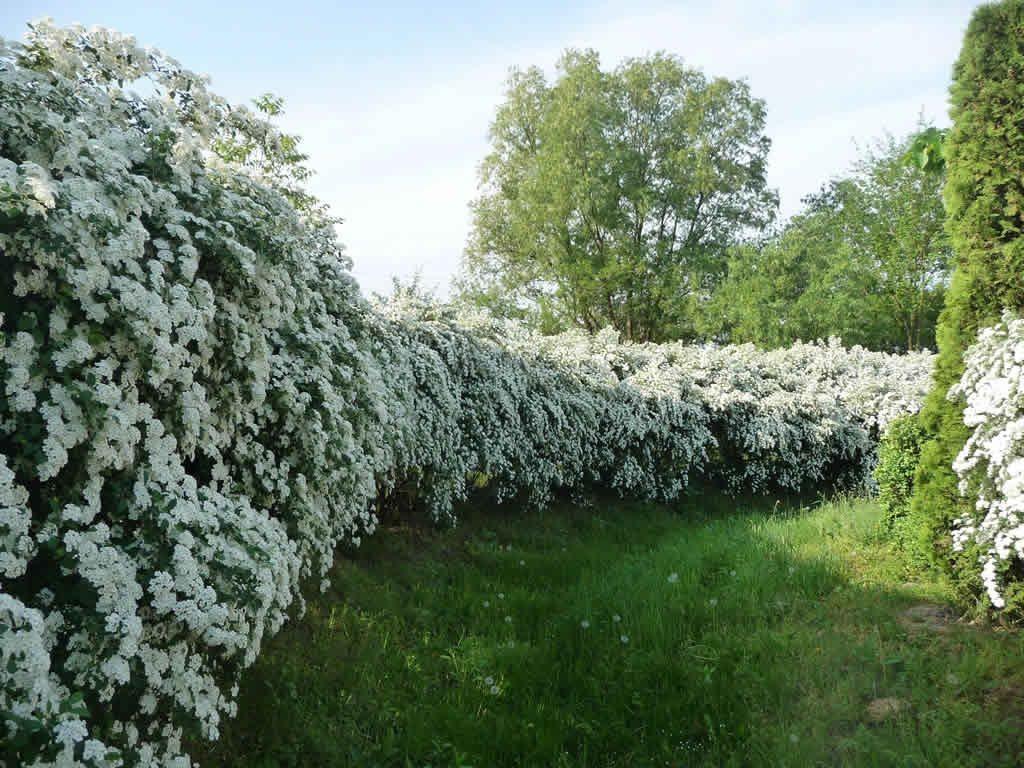 На фото примере стриженная живая изгородь из спиреи японской.