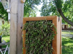 Vertical gardening from old window frames