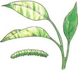 Повреждение бонсая гусеницами