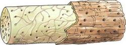 Поражение бонсая жуком-точильщиком