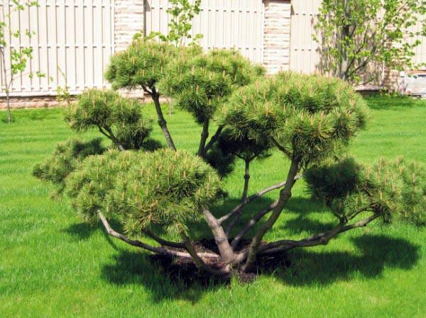 Искусство выращивания карликовых деревьев - бонсай