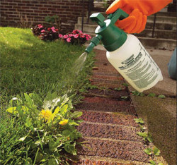Точечная обработка газона жидким гербицидом