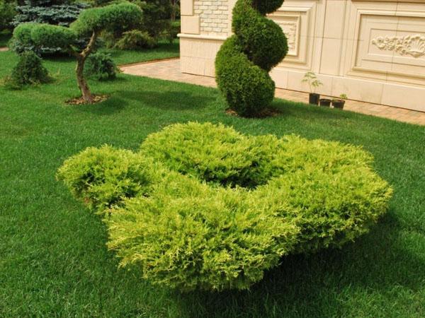 Декоративные кустарники для газона