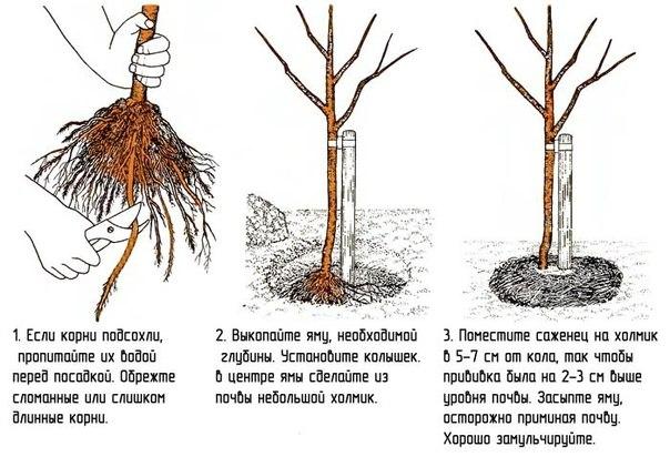 Посадка деревьев и  кустарников для газона
