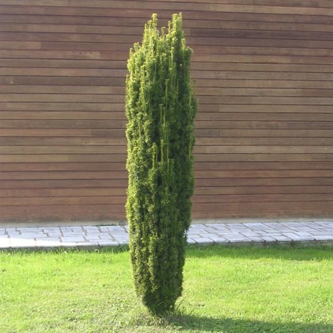 Тисовое дерево Taxus baccata Fastigiata