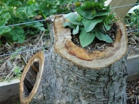 An old tree stump as container for flowers
