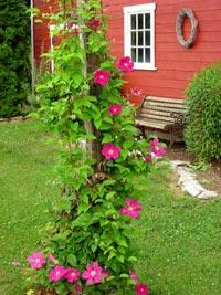 Украшение садовых объектов вьющимися растениями