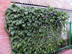 Украшение сетчатого забора вьющимися растениями