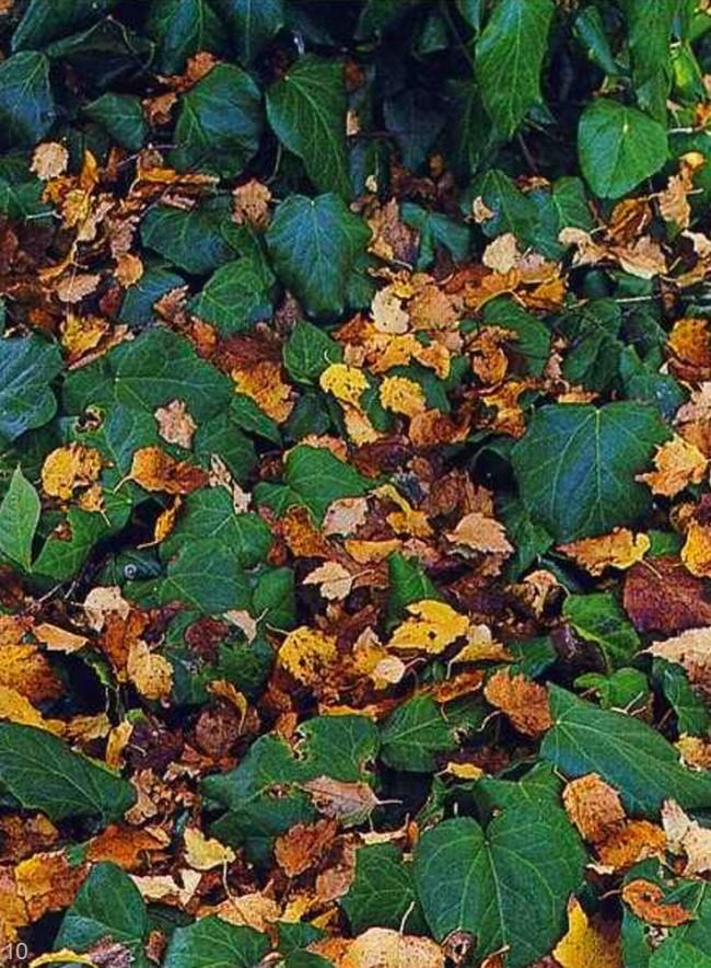 Маскировка опавших листьев растениями