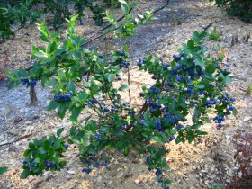 Blueberries in the country