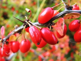 The fruits of barberry
