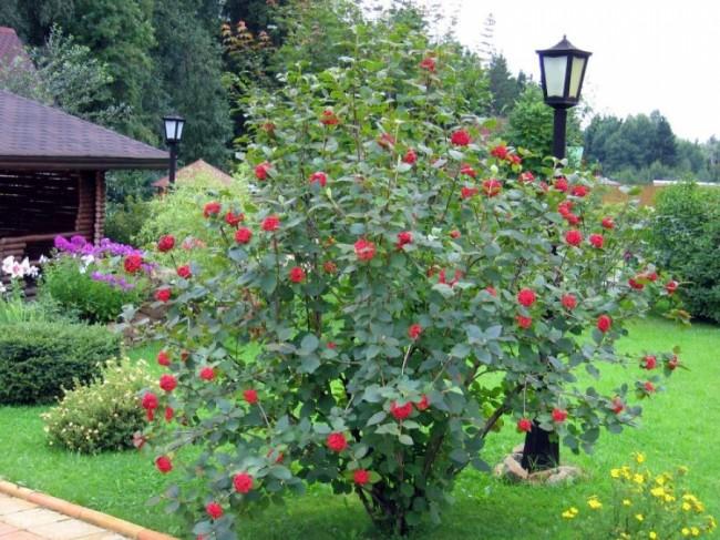 Выращивание ягодных кустарников в саду