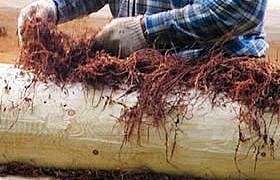 Конопатка зрубу мохом