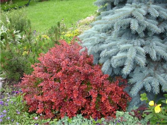 Неприхотливые кустарники и дерева