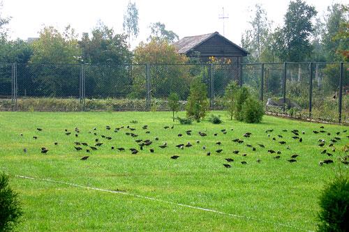 Выклевывание молодого газона птицами