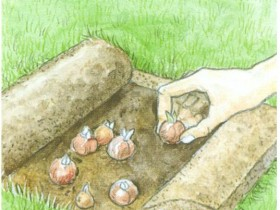 Planting bulbs in the lawn