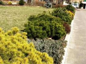 Conifers in the design of mixborders