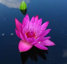 Розовая нимфея