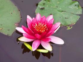Pink nymphea