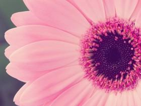 Розовая гербера.