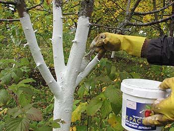 Побелка деревьев как идея ландшафтного дизайна
