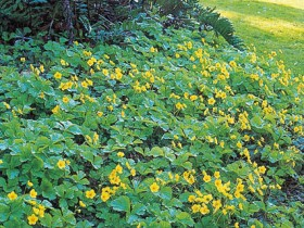 Ground cover plants for the garden