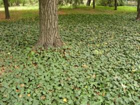 Грунтопокривні рослини для дачі