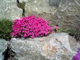 Почвопокровные расліны для альпінарыя