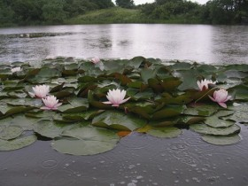 A pond with water lilies in the country