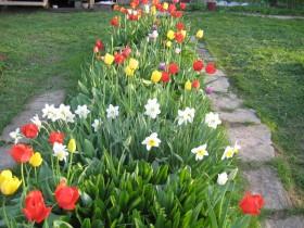 Ridges of tulips